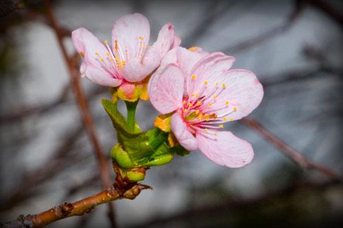 Sakura de toamna